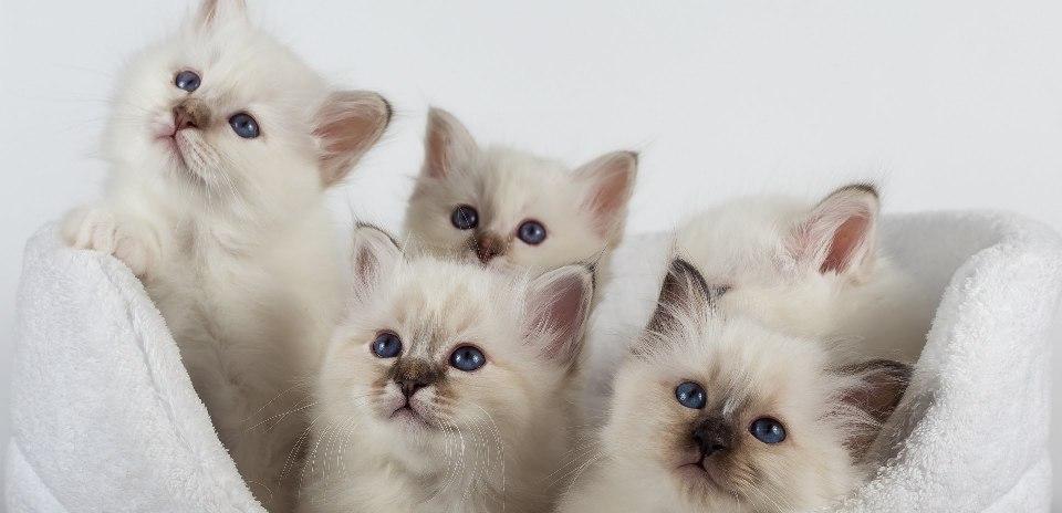 священная бирма порода кошек