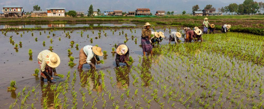 Мьянма сельское хозйство